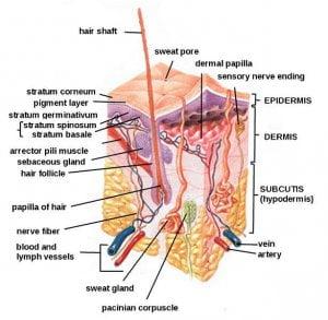 Struktur Organ Tubuh Manusia Bagian Dalam