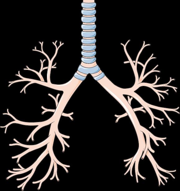 Anatomi trakea dan anatomi bronkus