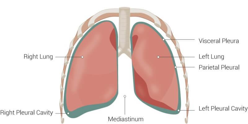Anatomi Pleura dan paru