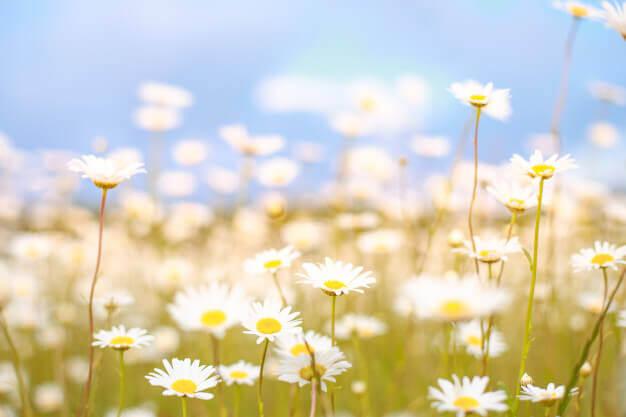 ladang chamomile
