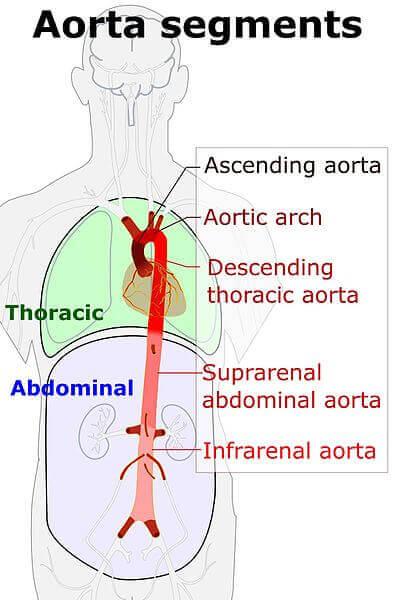 Aorta Segmen Aorta Abdominalis