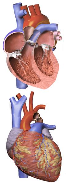 Koartaksio Aorta