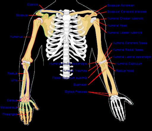 Anatomi Tulang Lengan dan Tangan