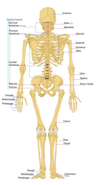 Anatomi Tulang Manusia