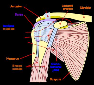 Anatomi Tulang dan Sendi Bahu