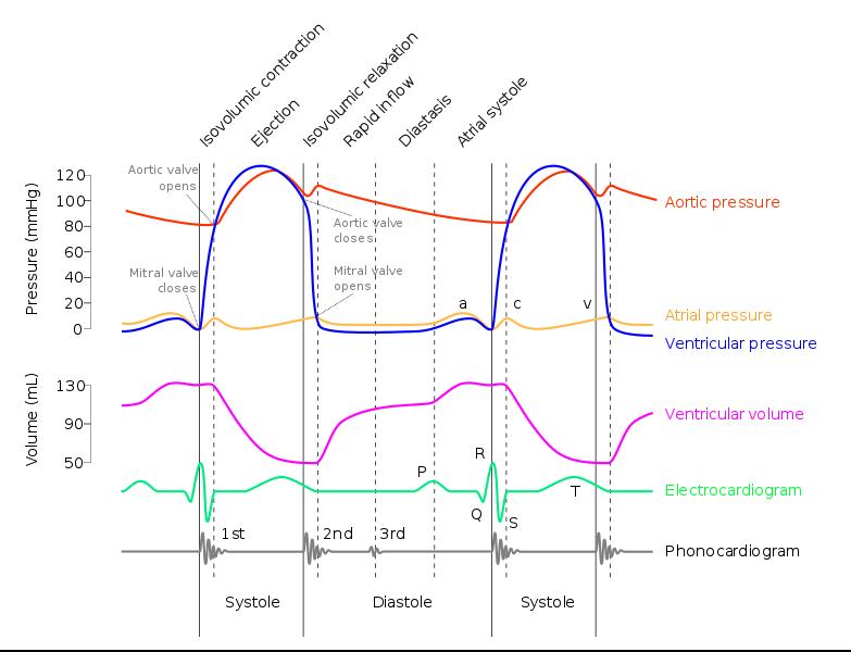 Diagram Wiggers yang menunjukkan Fase Pompa Jantung dan Kaitannya dengan Komponen Gelombang EKG