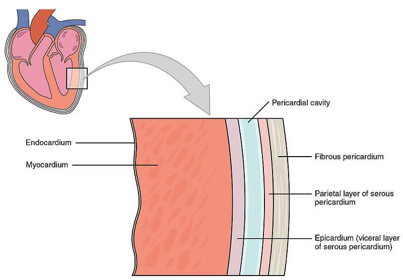 Dinding Jantung dan Perikardium