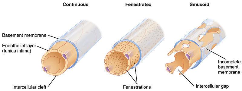 Jenis-Jenis Kapiler pada Anatomi Sistem Kardiovaskular