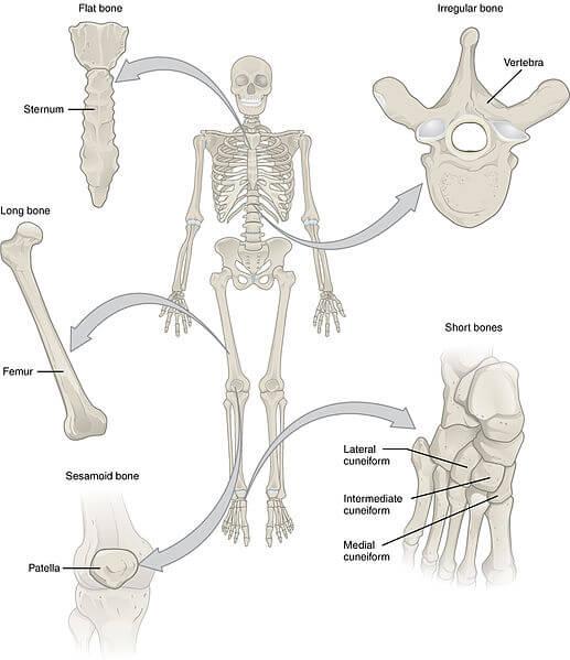 Klasifikasi Tulang