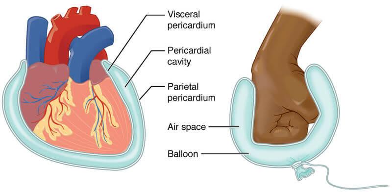 Perikardium dan Rongga Perikardium