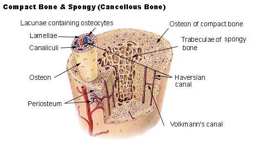 Struktur Tulang Manusia Mikroskopik