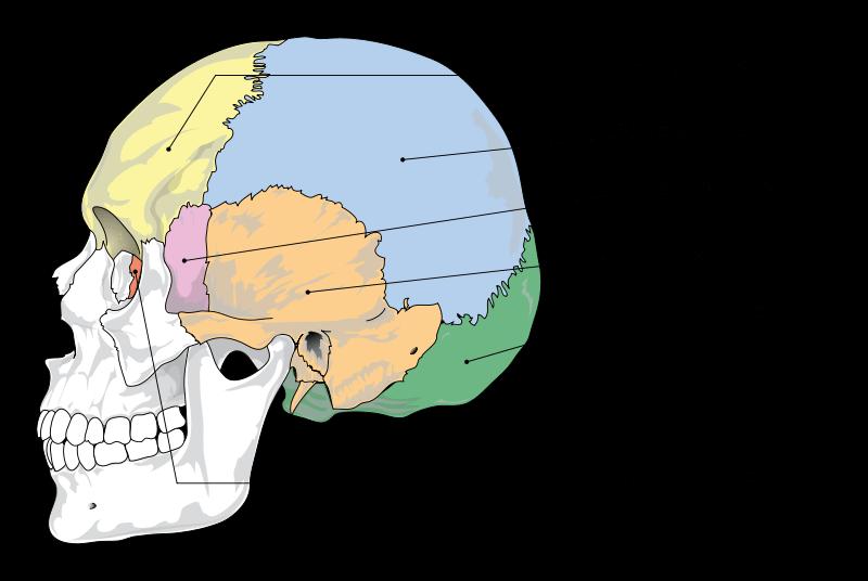 Tulang Kranial
