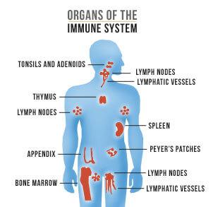 Ilustrasi Organ Pada Sistem Kekebalan Tubuh